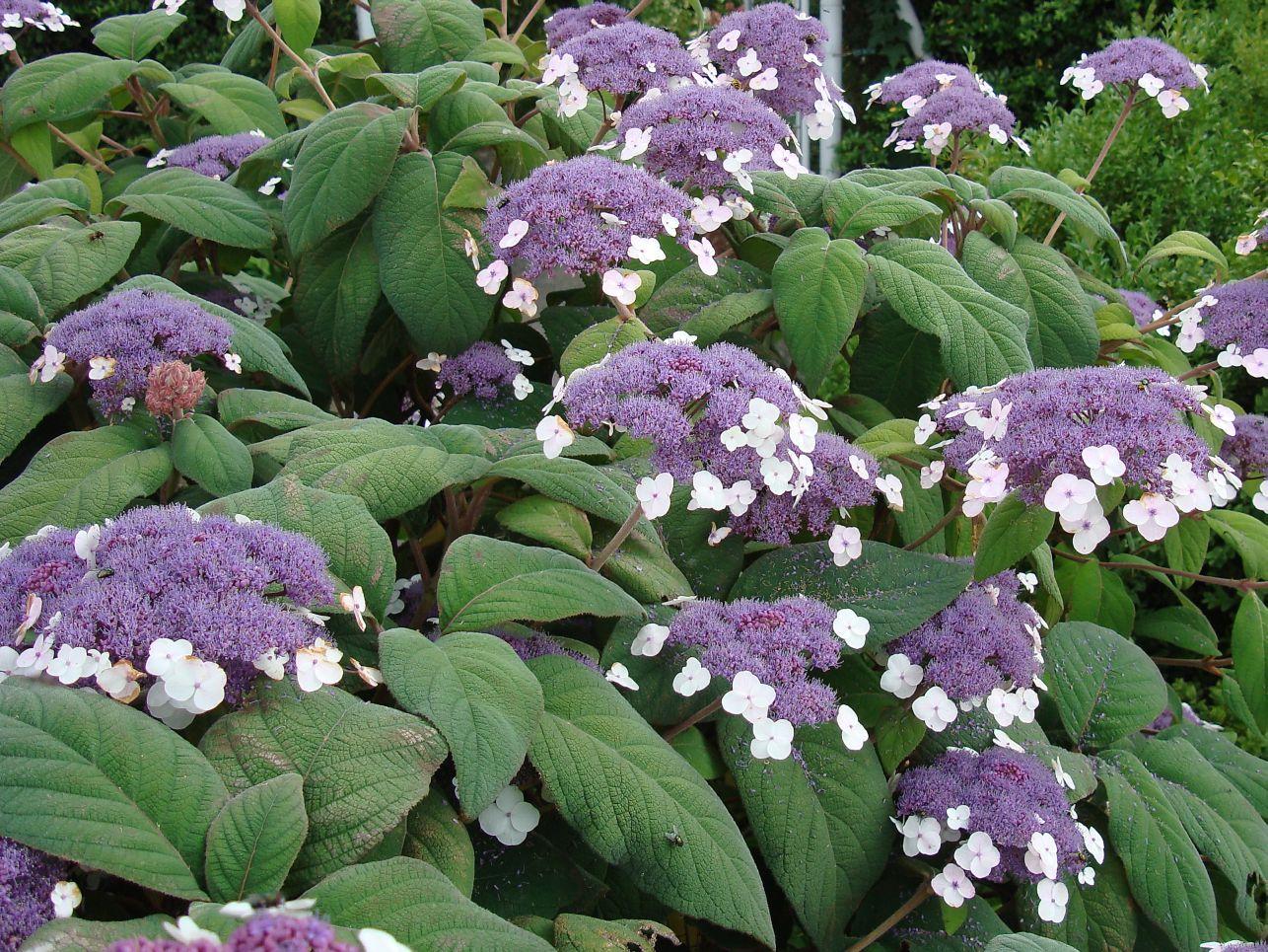 Hydrangea-aspera-subsp.-sargentiana
