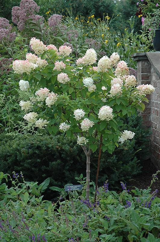 Hydrangea paniculata 'Limelight (tree form)'