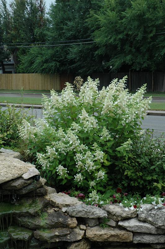 Hydrangea paniculata 'Little Quick Fire'