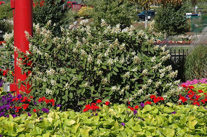 Hydrangea paniculata 'Pee Gee Compact'