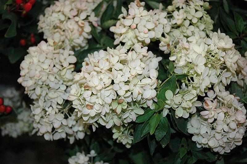 Hydrangea paniculata 'Sugar Puff'