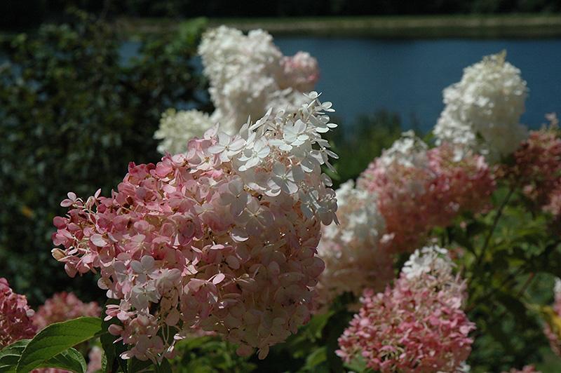 Hydrangea paniculata 'Vanilla Fraise'
