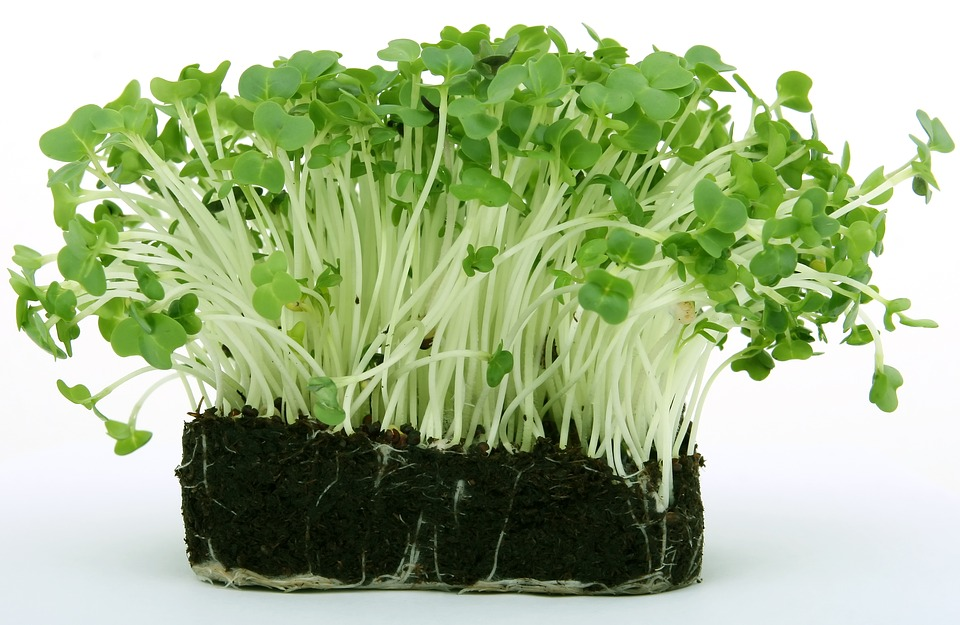 kress-salat-na-podokonnike-paslen.ru