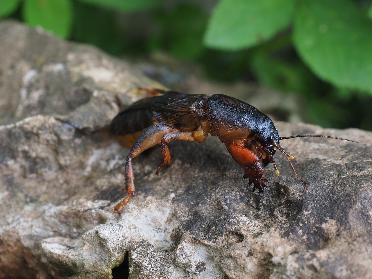 mole-cricket-medvedka