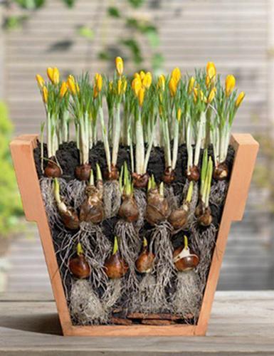 planting-crocuses
