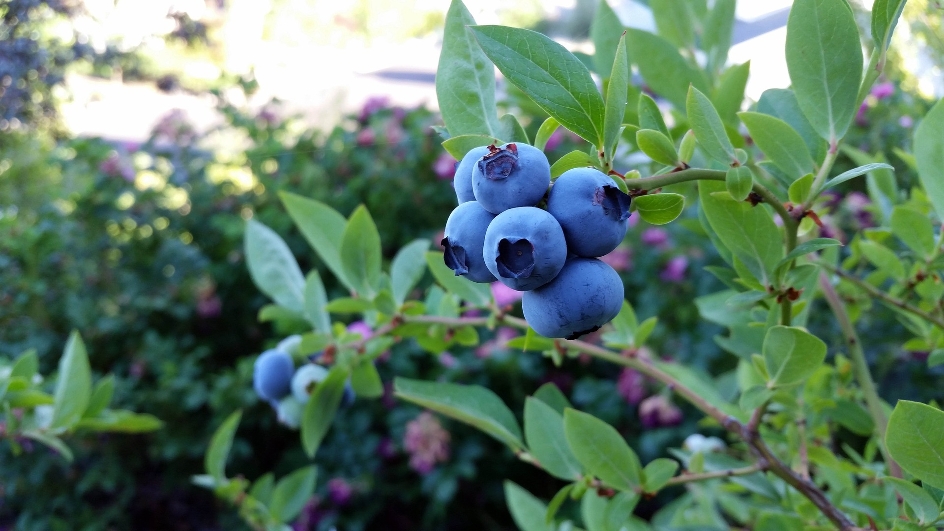 rubel-blueberry