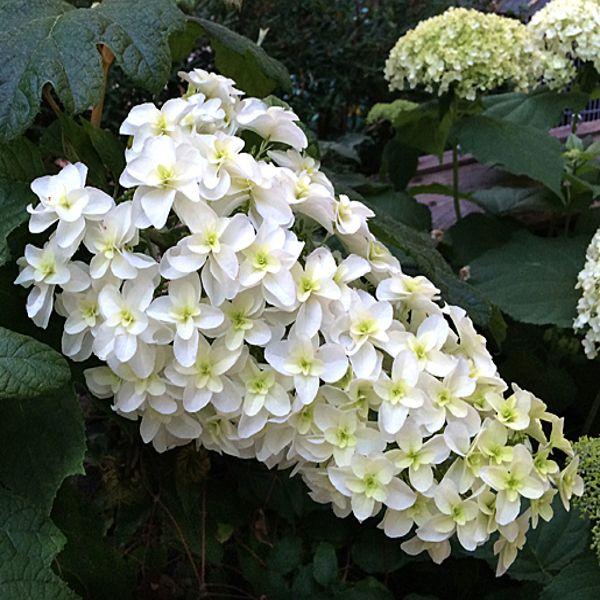 snowflake-hydrangea-white-blooms-