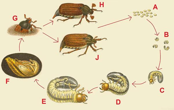 цикл-развития-майского-жука